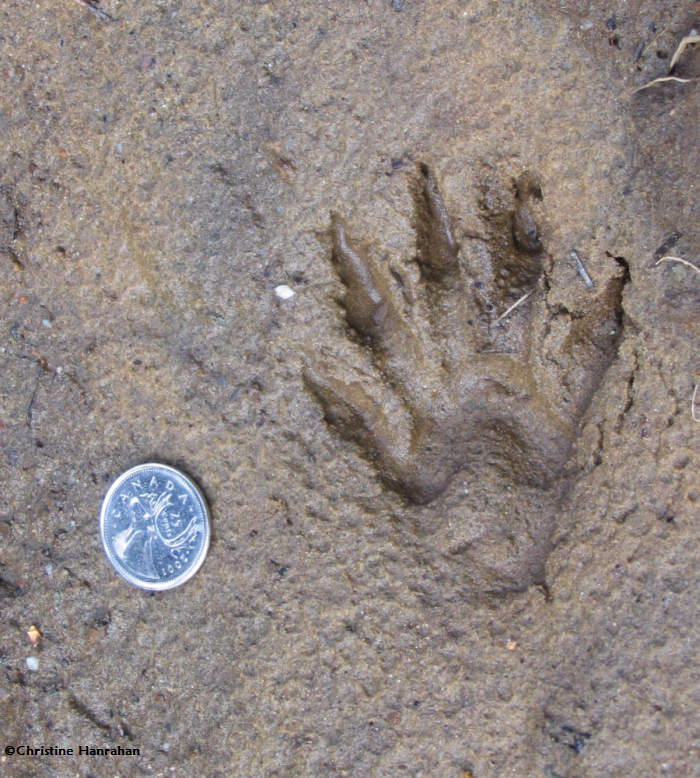 Raccoon (<em>Procyon lotor</em>)  track, front foot
