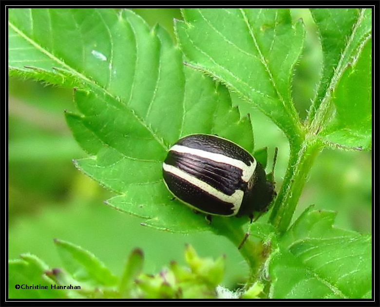 Ragweed Leaf beetle (<em>Zygogramma suturalis</em>) on Beggarticks