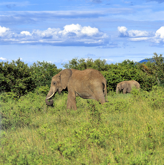Elephant Mother and Son