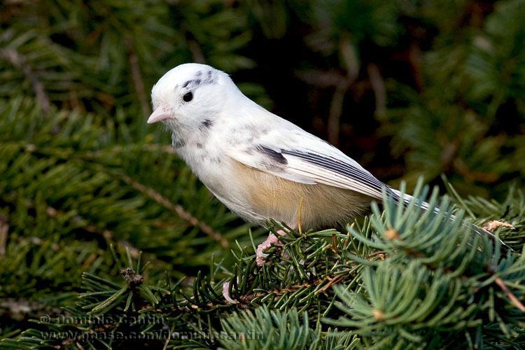 Mésange �ETête Noire partiellement albinos / Partly albino Black-capped Chickadee