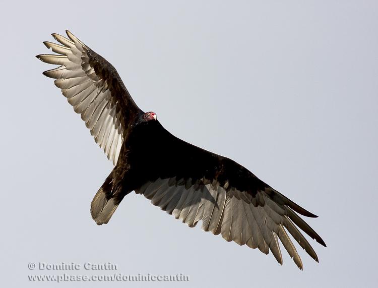 Urubu �à tête Rouge / Turkey Vulture