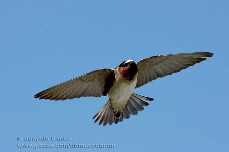 Hirondelle �à Front  Blanc / Cliff Swallow