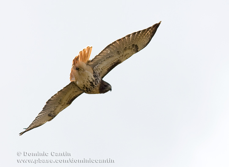 Buse �EQueue Rousse / Red-tailed Hawk
