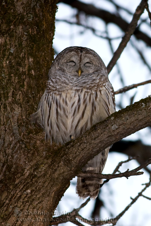 Chouette Rayée / Barred Owl