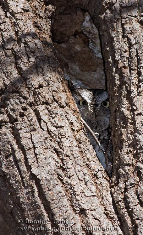 Petit-duc Macul�E/ Eastern Screech-Owl
