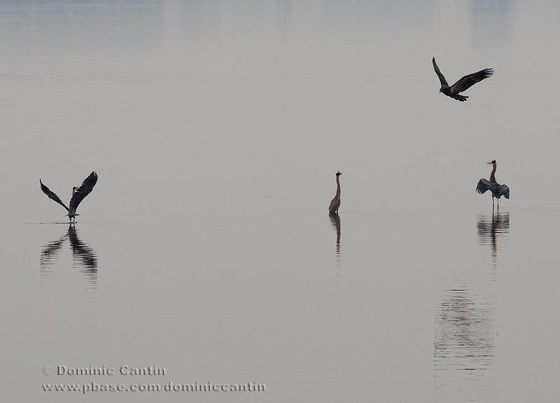 Grands Hérons et Pygargue à tête blanche / Great Blue Heron and Bald Eagle