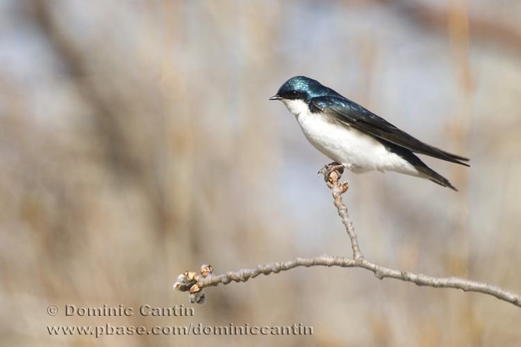 Hirondelle Bicolore / Tree Swallow