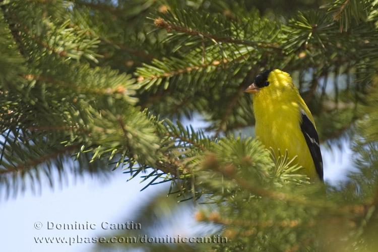Chardonneret jaune / American Goldfinch