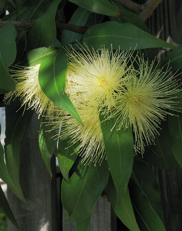 Flowering Eucalypt