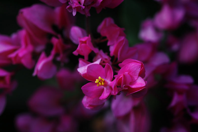 More tiny pink Flowers