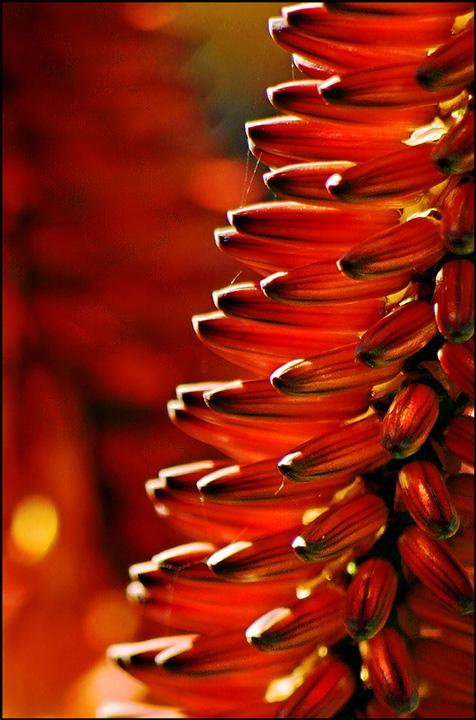 Aloe-flower.jpg