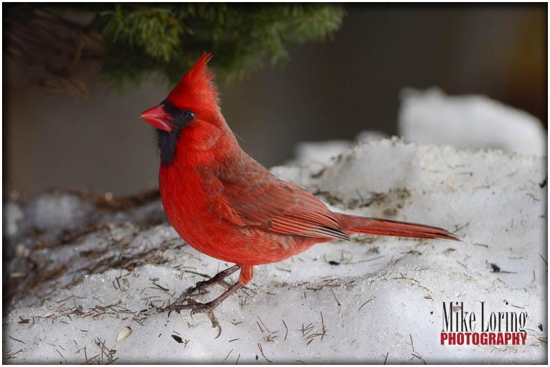 Cardinal_32514.jpg