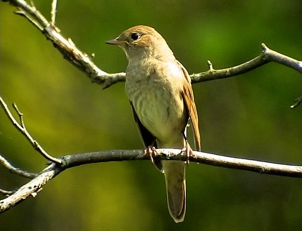 Näktergal<br> Nightingale<br> Luscinia luscinia