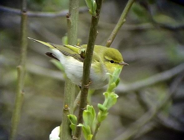 Grönsångare<br> Wood Warbler