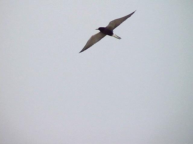 Svarttärna<br> Black Tern<br> Chlidonias niger