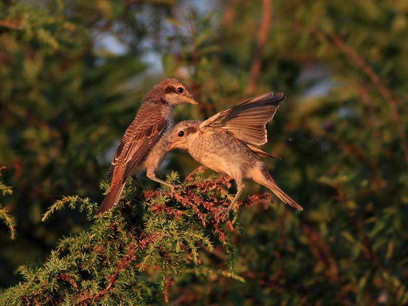 Törnskata<br> Red-backed Shrike<br> Lanius collurio