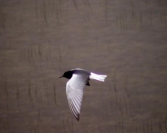 Vitvingad tärna<br> Chlidonias leucopterus<br> White-winged Tern