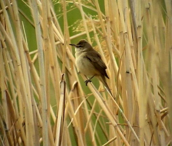 Trastsångare<br> Acrocephalus arundinaceus<br> Great Reed Warbler