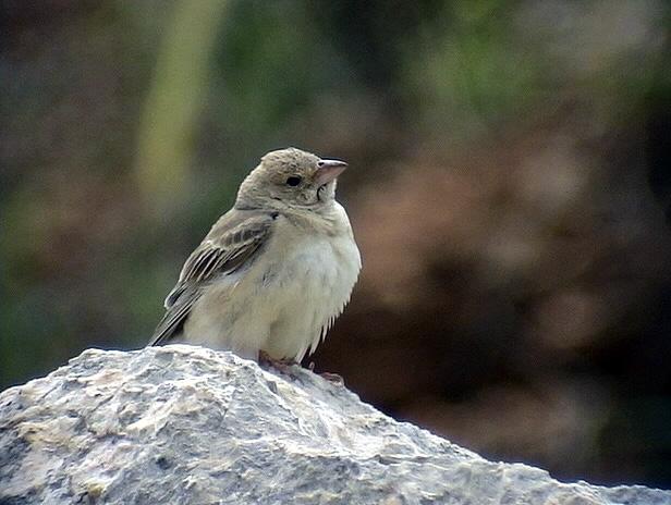 Blek stensparv<br> Pale Rock Sparrow<br> Carpospiza brachydactyla