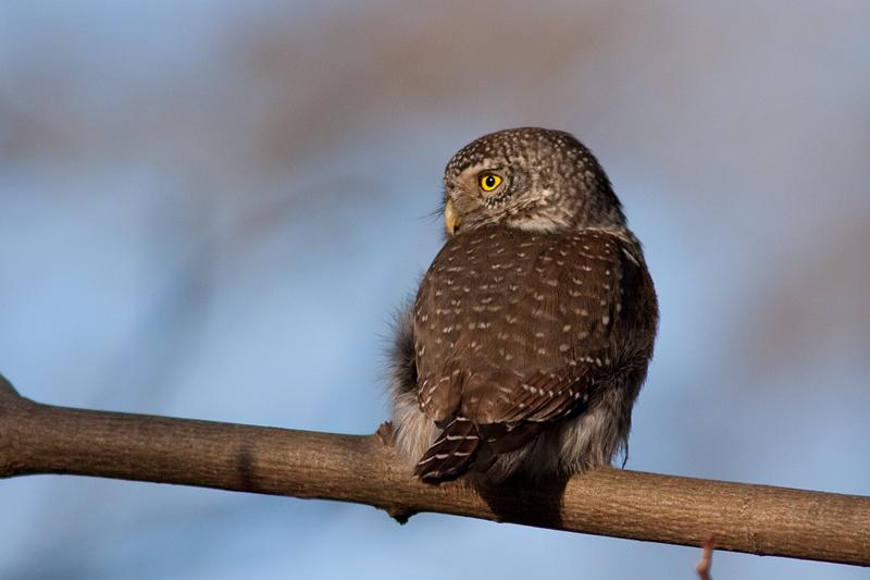 Eurasian Pygmy Owl - Sparvuggla