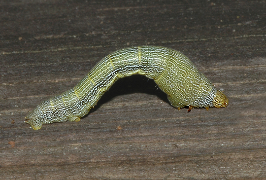 Tulip Tree Beauty Moth Caterpillar (6599)