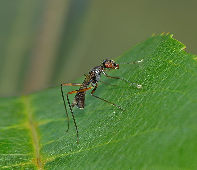 Stilt-legged Fly