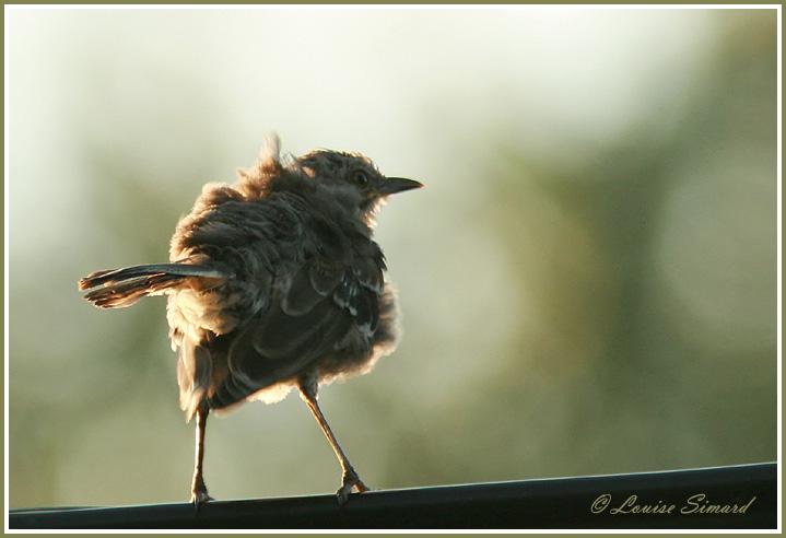Moqueur polyglotte juvénile / Northern Mockingbird