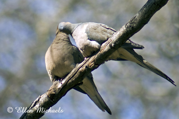 Mourning Dove (pair)