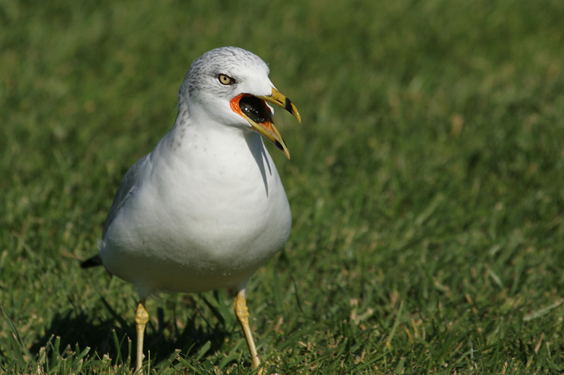 Ring-billed Gull swallowing clam