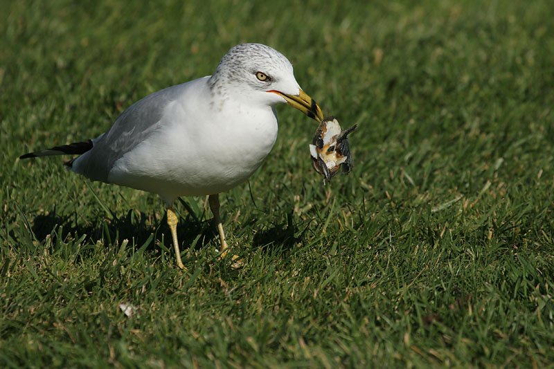 Ring-billed Gull with clam