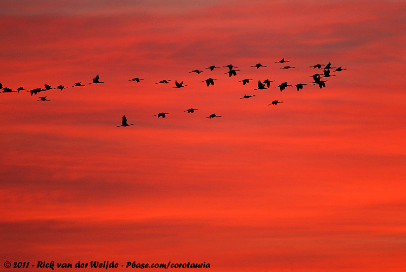 Common Crane<br><i>Grus grus</i>