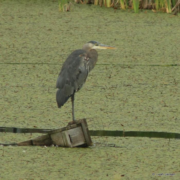 Heron of the Marsh