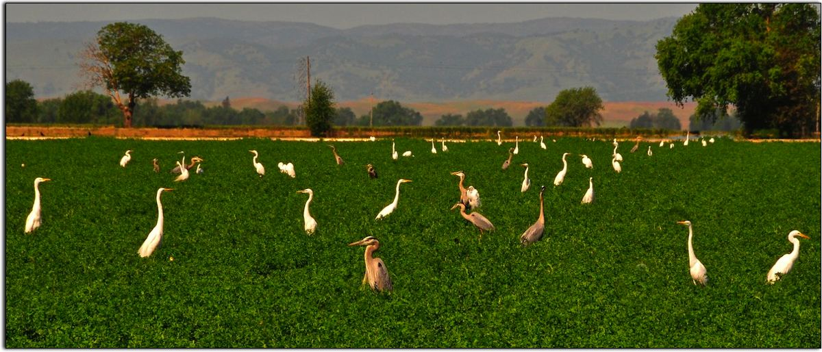 Egrets and Great Blue Herons, Central Valley of California