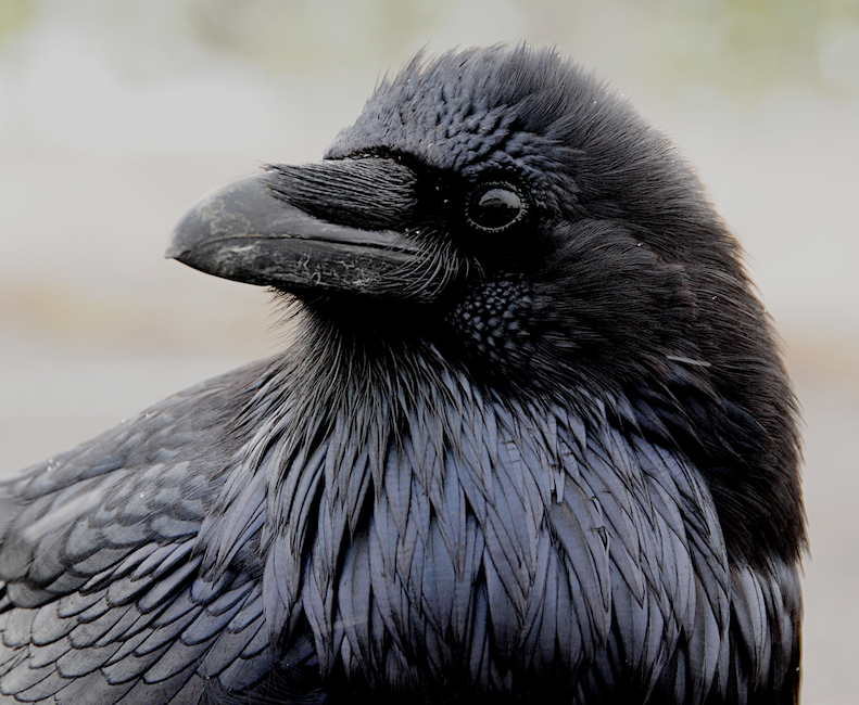 In the Eye of the Raven