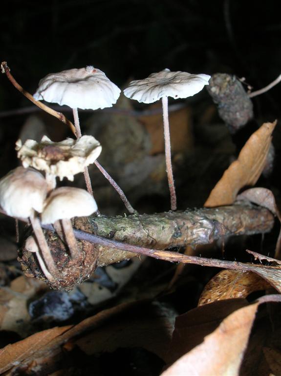 Pinwheel Fungi