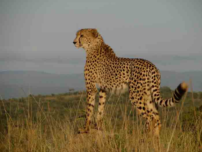 South Africa-Cheetah-1.jpg
