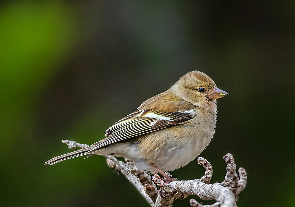 Chaffinch - female