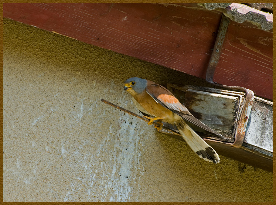 The Red Kestrel (Falco naumanni)