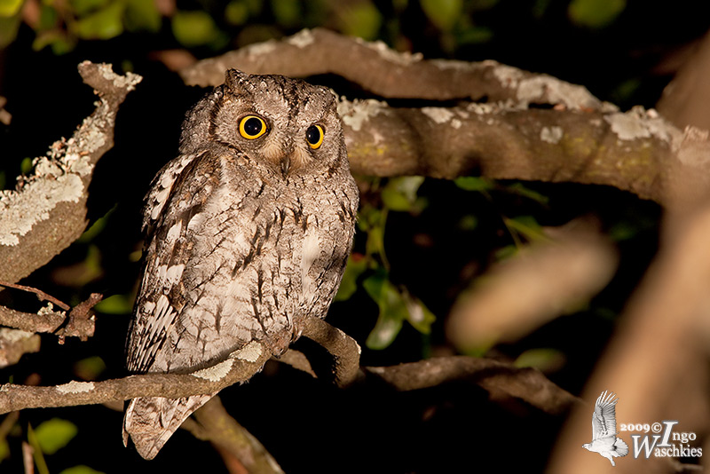Adult African Scops Owl