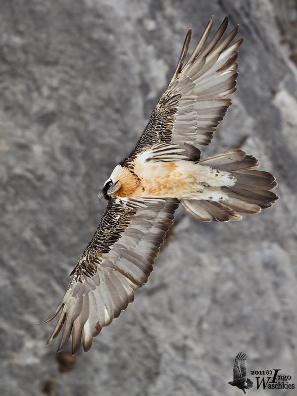 Adult Bearded Vulture (ssp. <i>aureus</i>)