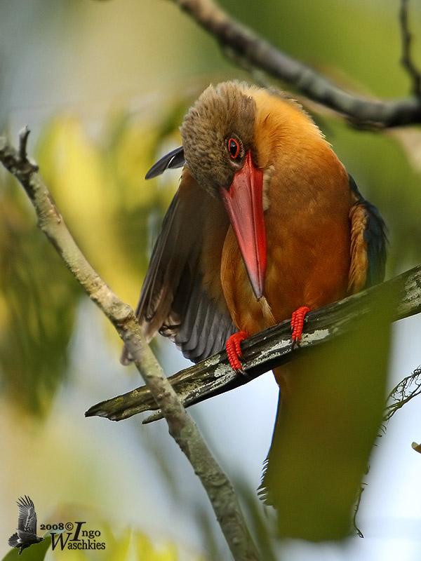 Adult Stork-billed Kingfisher