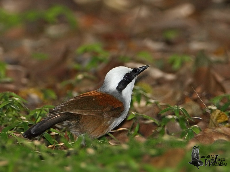 Adult White-crested Laughingthrush