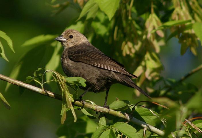 Brown-headed Cowbird; female
