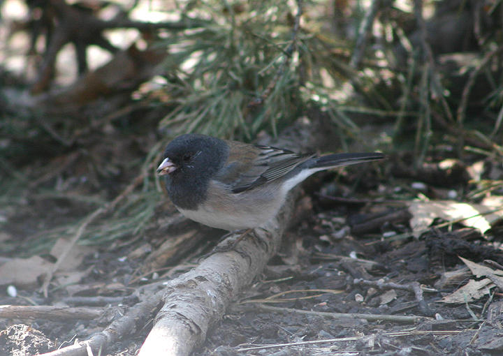 Dark-eyed Oregon Junco; female