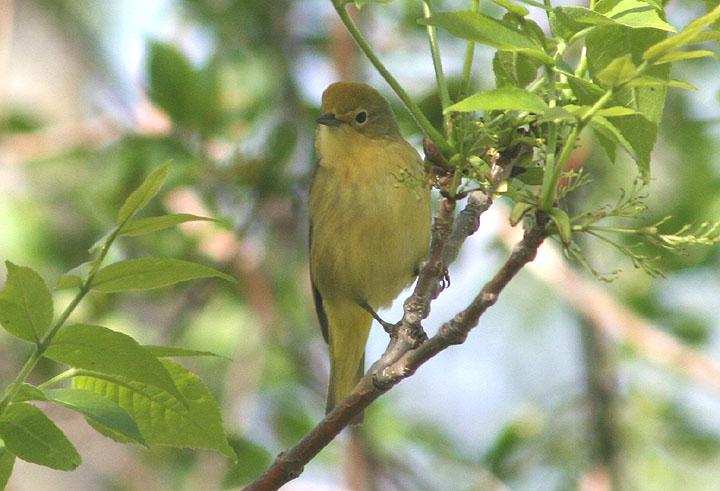 Yellow Warbler; female