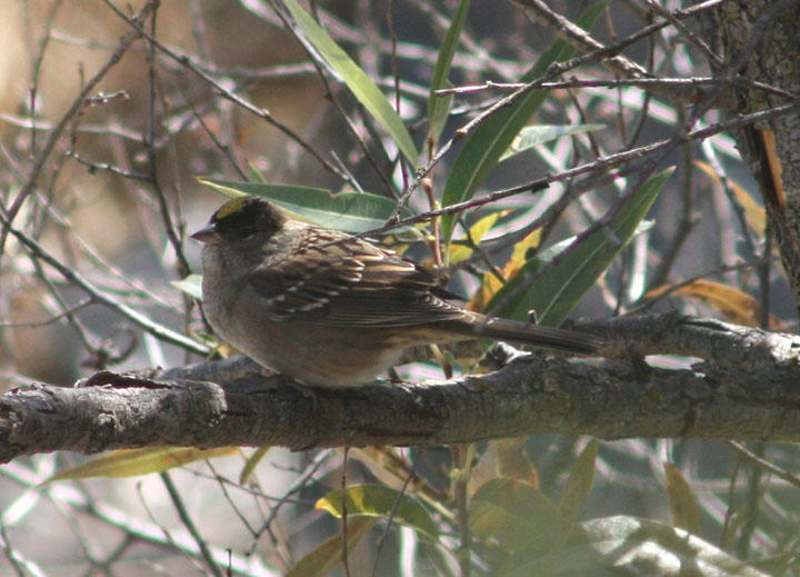 Golden-crowned Sparrow; breeding