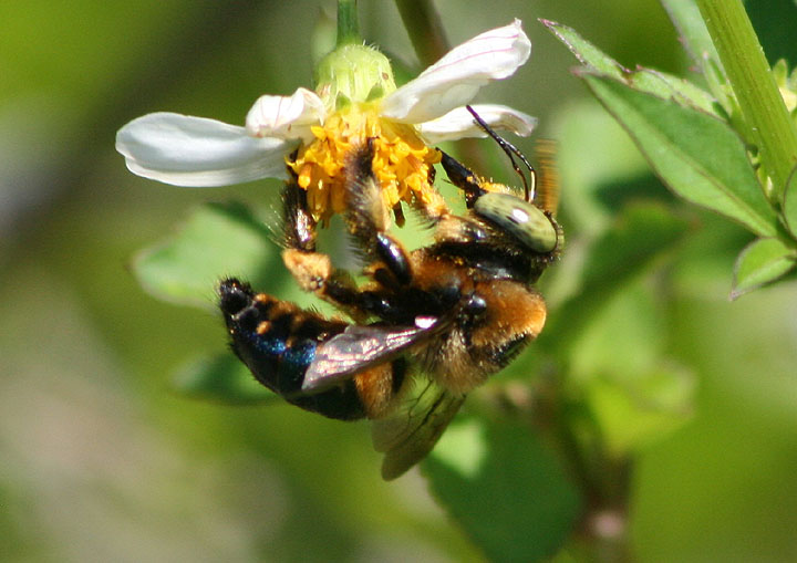 Xylocopa micans; Southern Carpenter Bee