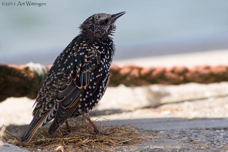 Sturnus vulgaris / Spreeuw / Common Starling