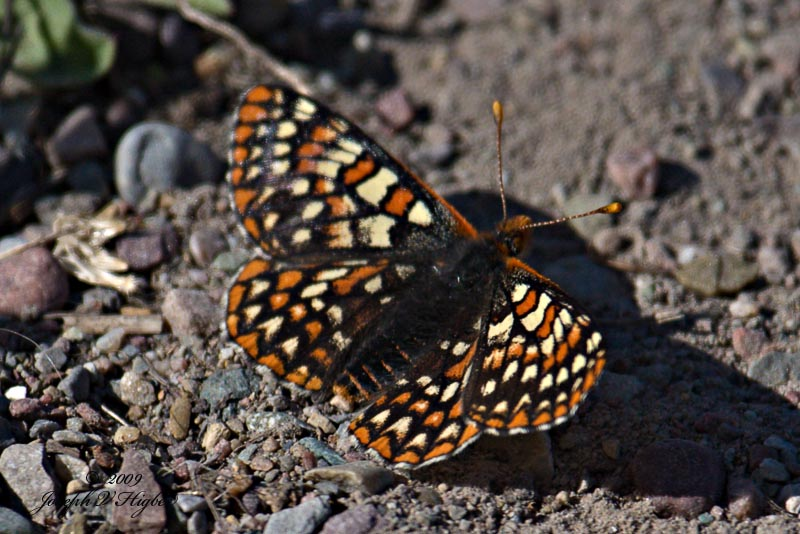 Ediths Checkerspot