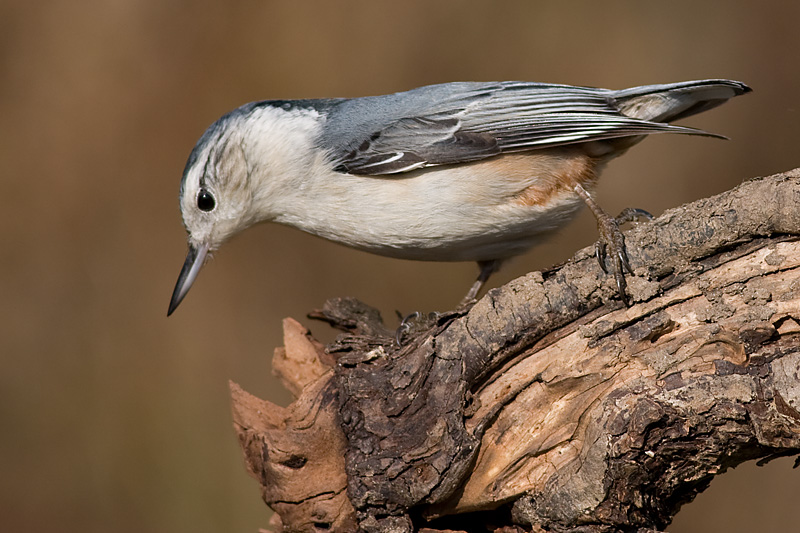 white-breasted nuthatch 239